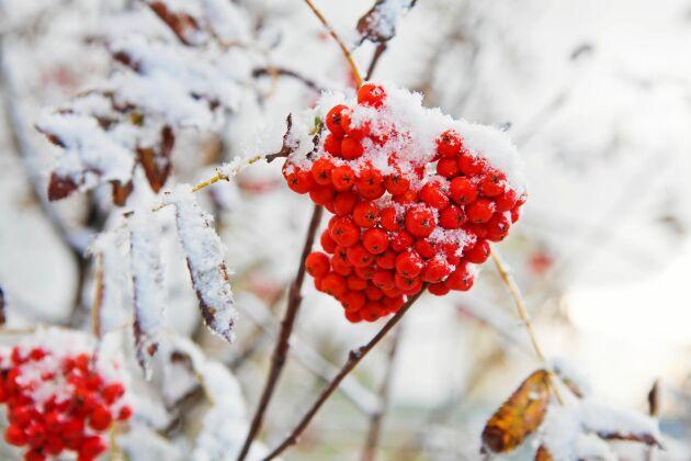 """""""Mycket rönnbär –ja då blir det en sträng vinter!"""" Men talesättet har ingen vetenskaplig grund."""