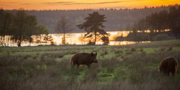 Förslag: Lättare för jägare att sälja vildsvin