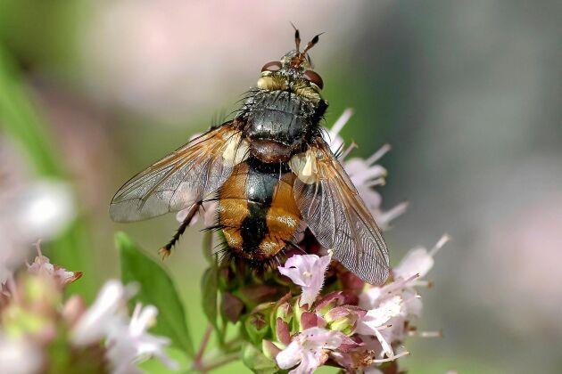 Hos gruppen tvåvingar, dit flugor och myggor hör, har de bakre vingarna ombildats till små svängkolvar. På bilden en parasitfluga, vars larver är parasiter på andra insekter.