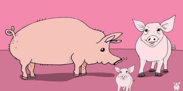 Nöff! Lär dig allt om grisen –på en minut