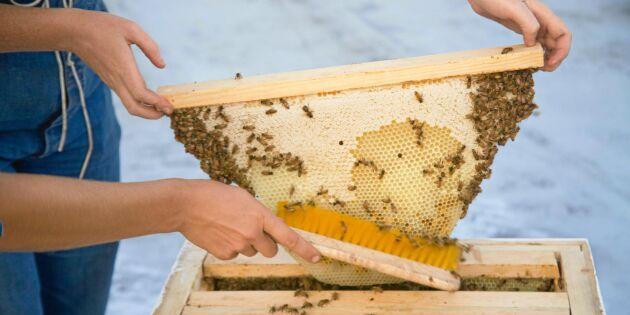 Egen bikupa i trädgården – så gör du!