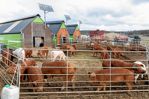 Besökare från staden får på guidade vandringar och se på djur och odlingar. Sommartid får grisarna lämna sin vinterhagar och böka fritt på stora ytor.