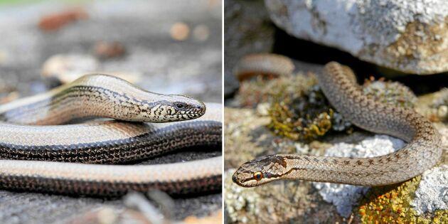 3 ormar och en ödla – så skiljer du dem åt