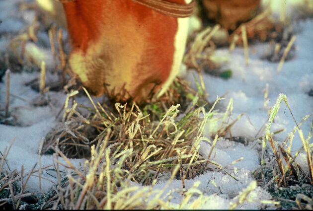 Fruset gräs kan ge problem med hovarna.