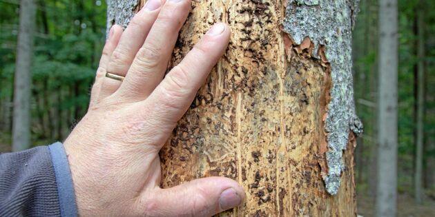 Barkborre: Mer insatser i skyddad skog