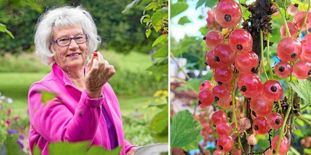 Doris trädgård är ett bärparadis: Plockar 3 liter jordgubbar – om dagen