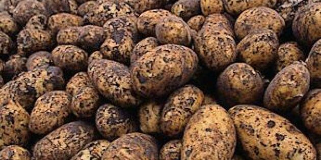 Årets potatiskörd lägre än i fjol