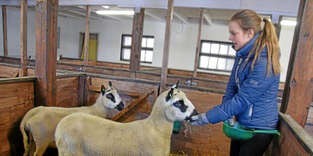 Här föds snart Sveriges första Kerry Hill-lamm