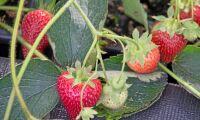 Värmen kan ge rekordstor jordgubbsskörd