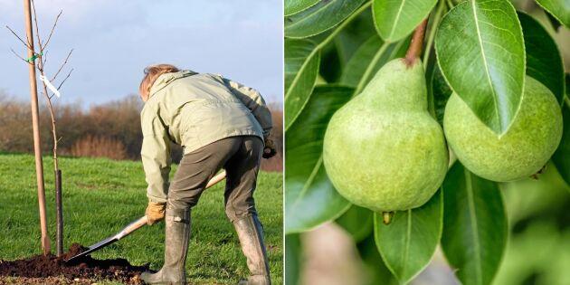GUIDE: Höstjobb i trädgården – så planterar du päronträd