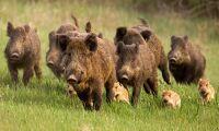 Nu ska det bli enklare att sälja vildsvinskött