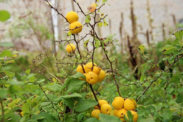 Glöm inte rosenkvitten, ett bra substitut för citron.