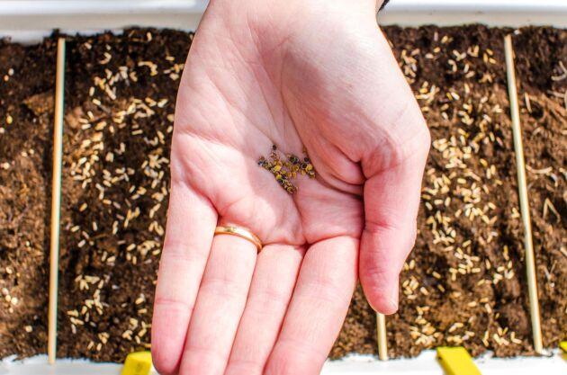 Lindbloms Frö har största sortimentet i Sverige som fröleverantör till ekologiska yrkesodlare. Försäljningen inför våren hade just börjat, men nu har hela lagret brunnit upp.