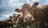 Smart upphandling ger lokalt nötkött