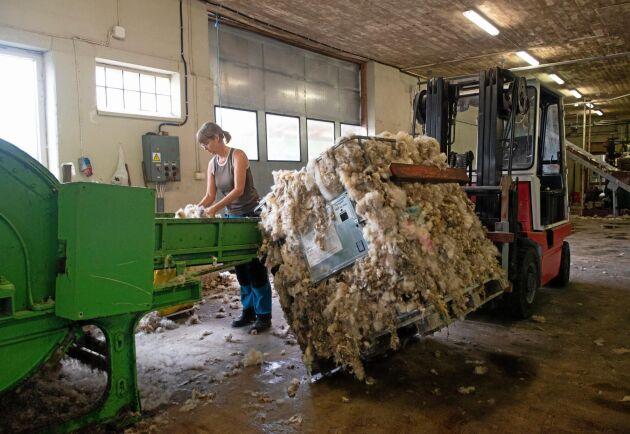 Jenny Andersson matar in smutsig ull i tvättanläggningen i Endre. Ullen har Hans Bulthuis hämtat med lastbil på gotländska fårbönders gårdar.