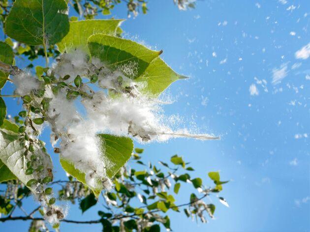 Det vita luddet i luften är aspfrön som vill sprida sig så långt som möjligt.