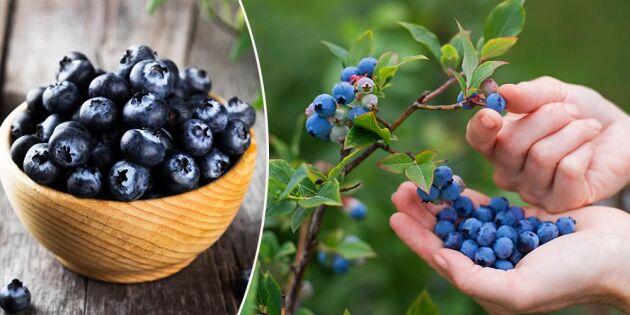 Så tar du sticklingar på blåbärsbuskarna