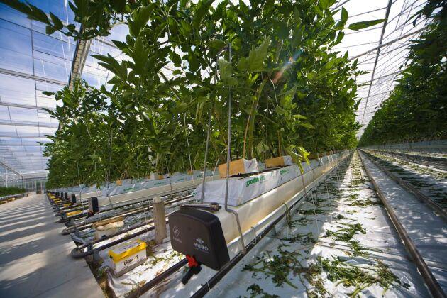 I Sverige är de flesta växthusen som odlar ekologiskt små. I mindre växthus är ofta tomaten huvudgrödan.