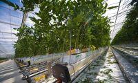 Fler odlar ekologiskt i växthus