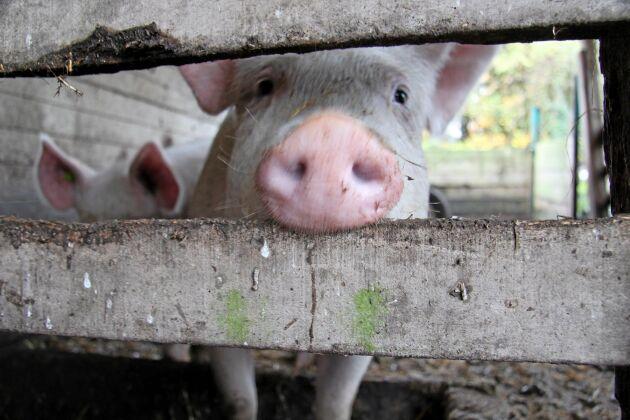 Griskött är först ut att ingå i den nya djurskyddsmärkningen. Tillgång till utevistelse, halm för att hålla sig sysselsatta och att de får ha knorren kvar är några exempel i den högsta nivån.