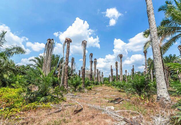Årligen skövlas världens regnskog för att ge plats åt lukrativa oljepalmplantager.