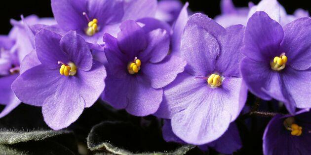 Så lurar du saintpaulian att blomma – med fler knoppar och större blommor!
