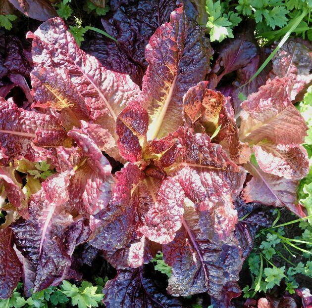 Plocksallat 'Antares' är storväxt, ekbladsflikig, vinröd och med god smak och krispighet. Växtsättet är stadigt upprättväxande och håller bladen väl fria från jorden. Så direkt på friland så snart jorden reder sig. Ekofrö. Runåbergs fröer.