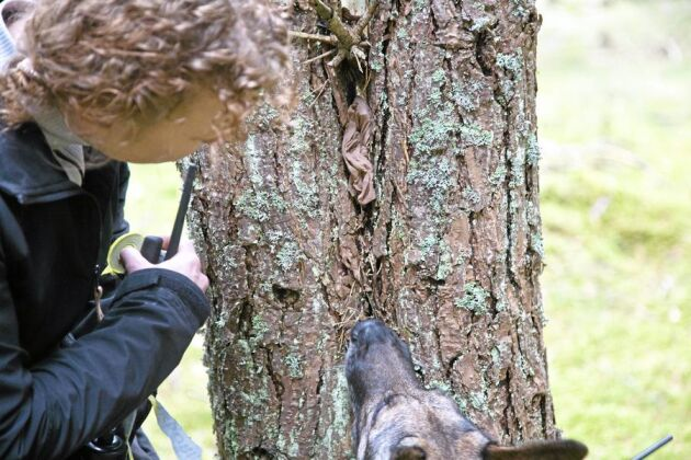 Annette gömde bomullstussen med syntetsik barkborredoft i skogen för två dagar sedan. Det är för att vara säker på att Meja går på barkborredoften och inte på Annettes fotspår. Bomullstussen är gömd i en brun strumpbyxa för att Meja inte ska gå på synintrycket.