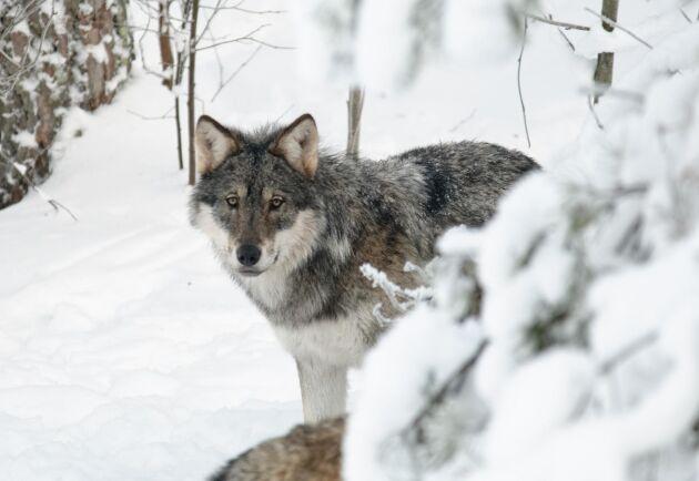 Naturvårdsverket beslutade under torsdagen att det inte blir någon vargjakt till vintern 2020.