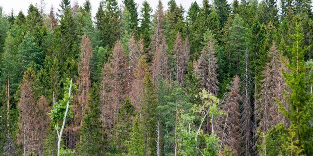 Nu syns vårens barkborreangrepp på träden