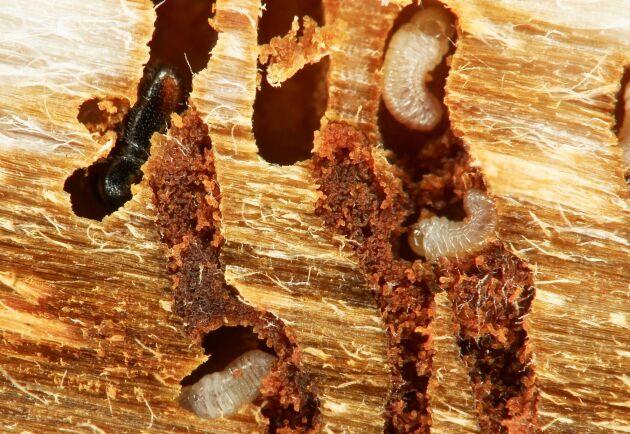 LRF Skogsägarna tycker att det primära är ett kraftfullt agerande för att ta ut skadat virke, även från nyckelbiotoper.