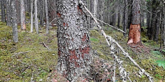 """""""Barkborrarna slår till i gläntor efter stormen Ivar"""""""
