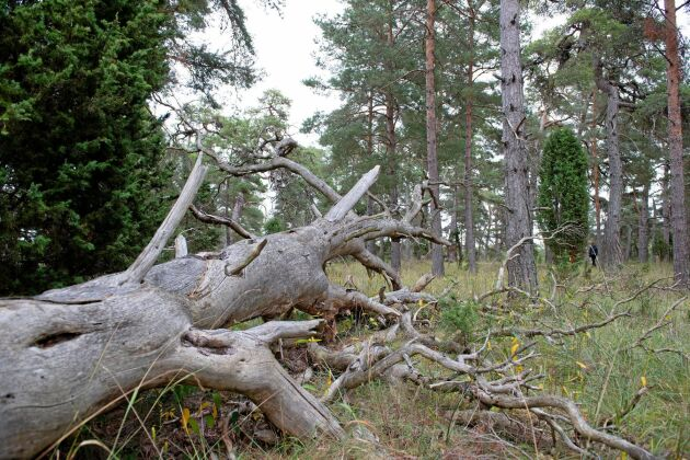 I naturreservatet Verkegards får ingen död ved tas ut.