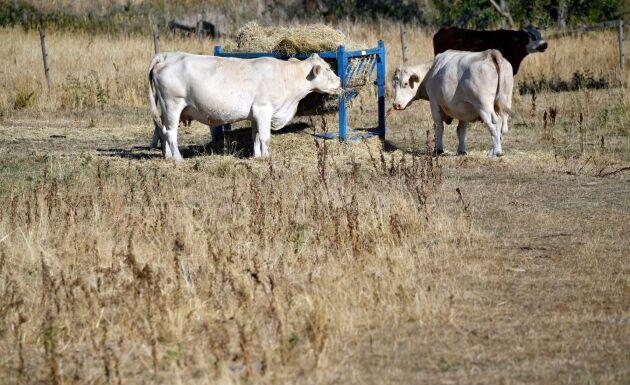 Kor får extra hö.