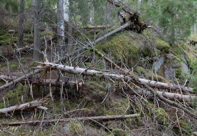Stormfällda träd i Tivedens nationalpark.
