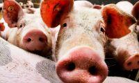 Miljontals vietnamesiska svin pestsmittade