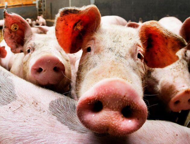 Miljontals vietnamesiska grisar tros ha smittats av afrikansk svinpest. Arkivbild.