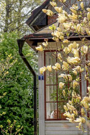 'Yellow Lantern' blommar länge med stora ljusgula blommor.