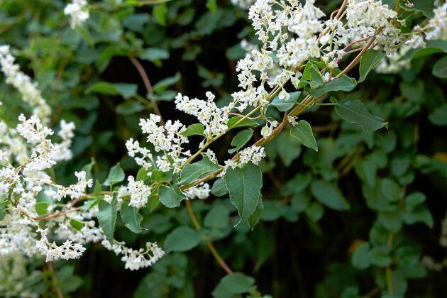 Bokharabindan täcker bra och blommar fint och vitt.
