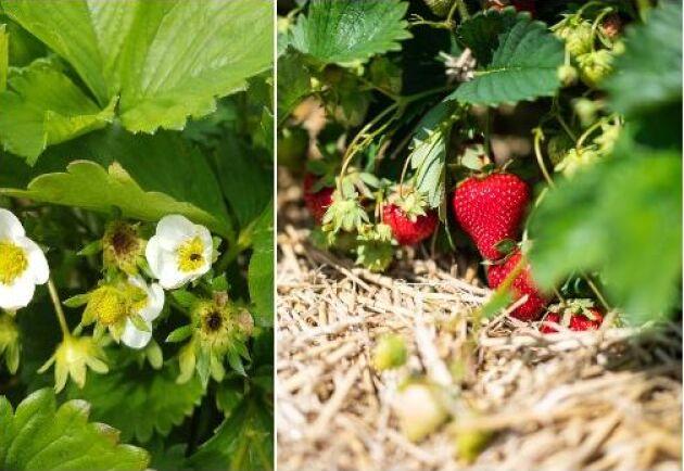 Halm i odlingarna gör att jordgubbarna mognar senare. Till vänster jordgubbsplanta med frostskador.