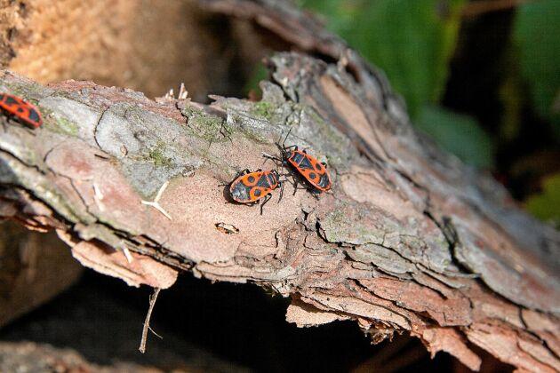 Färgglad insekt. Eldlusen syns på håll.