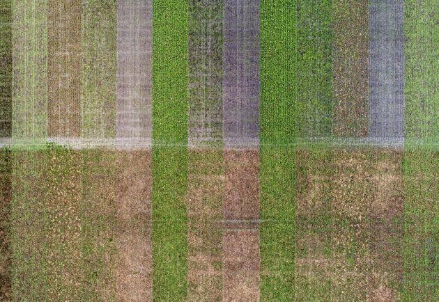 Mycket är outforskat när det gäller mellangrödor. Därför har Martin Krokstorp försöksodlingar på gården med nio olika blandningar. Den nedre halvan här är direktsådd och den övre halvan är plöjd och harvad före sådd för