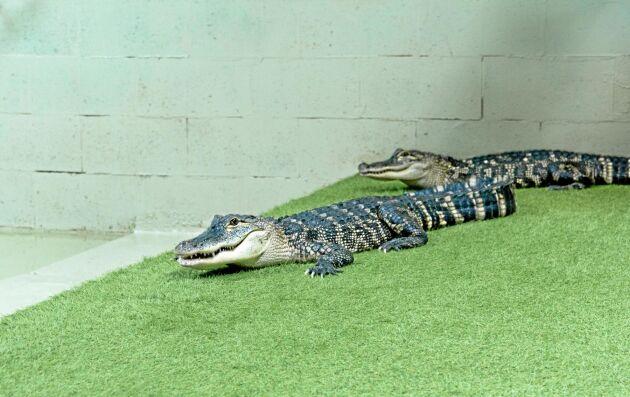 De sex alligatorerna fraktades från England till Hålabäck i specialbyggda lådor.