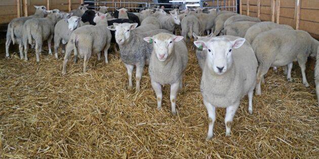 Ökad slakt av gris och lamm – men färre nötdjur