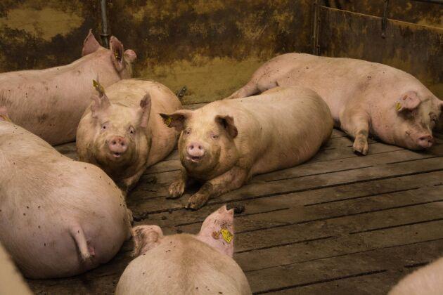 Danska grisar.