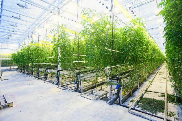 Tomatbäddarna i växthusen är 40 meter långa. Och kretsloppet ger 10 kilo tomater på varje kilo fisk. Så snart kan företaget producera svenskodlade tomater i större skala.
