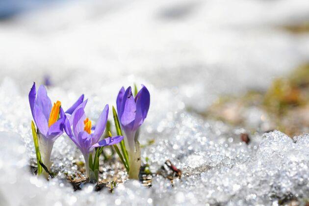 Än är det vinter kvar, säger mor. Och SMHI. Även om våren kom ovanligt tidigt i landets södra halva.