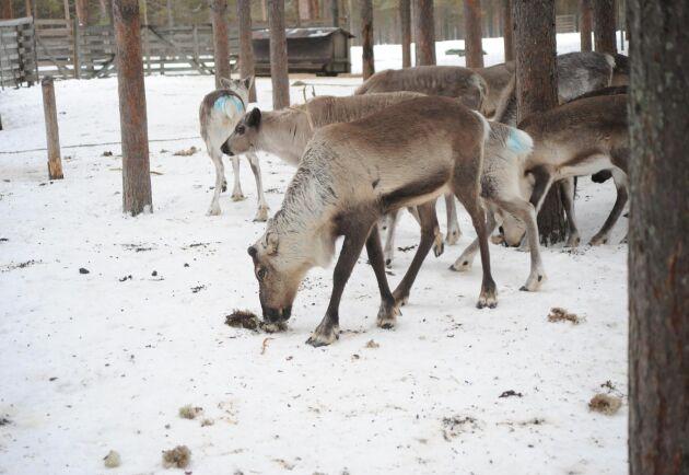 Renlav som komplettering till pellets håller renarnas magar i trim. Här hjälper Örjan Pekka, Kalix, till med utfodring.