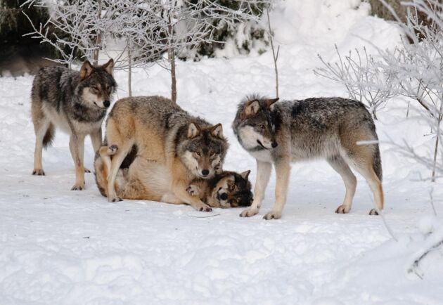 Den senaste räkningen visade på att det fanns runt 305 vargar i Sverige.