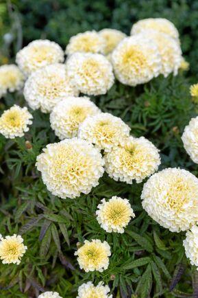 """Medan de flesta tagetessorter gör sig bäst i flödande sol lyser den blekgula """"Vanilla"""" som vackrast i skymningen."""